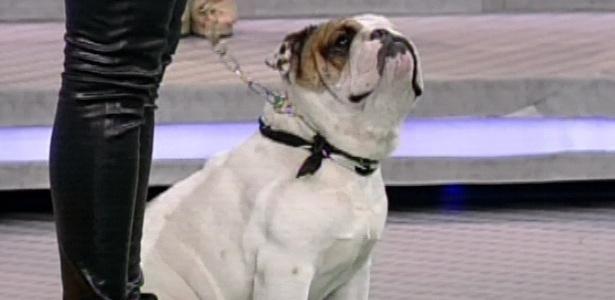 10.mar.2013 - Chico, bulldog inglês da atriz Priscila Fantin, participa do quadro
