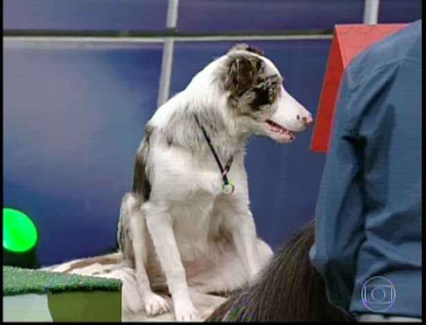 17.mar.2013 - Gaia, border collie de Fiuk  participa do quadro