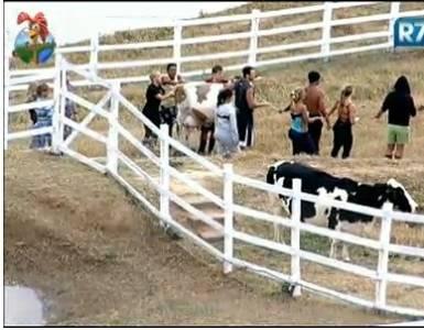 Peões se esforçam para desatolar vaca de mentira (22/7/11)