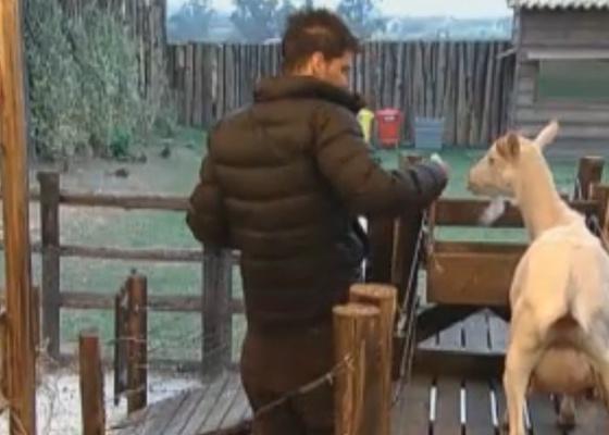 Thiago cuida das cabras (11/9/11)